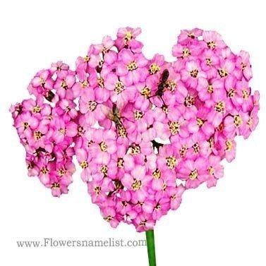Yarrow_(Achillea_millefolium),_pink