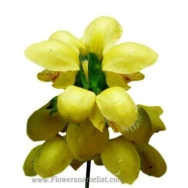 Yellow Archangel flower