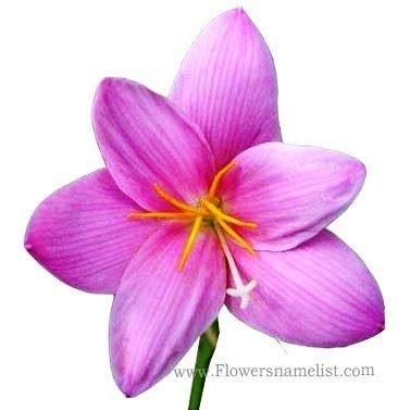 Zephyranthes_grandiflora