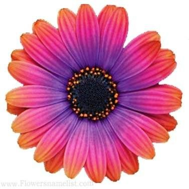 african daisy pink