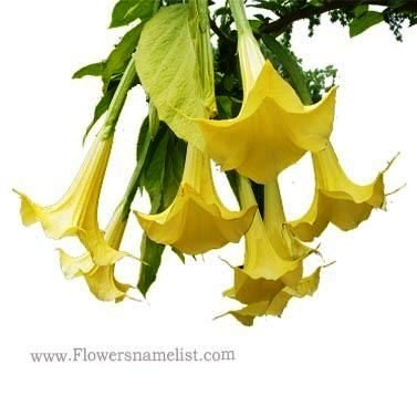 angel trumpets yellow