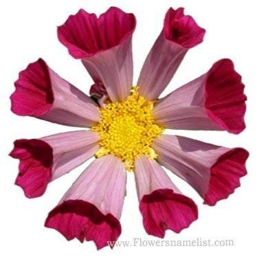 aster mexican