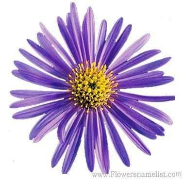 asters perennial