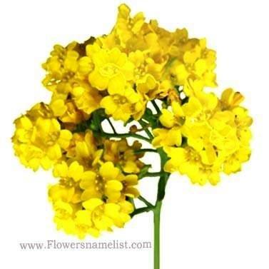 basket of gold perennial flower