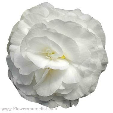 begonia nonstop white tuberous