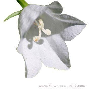 bell campanula flower