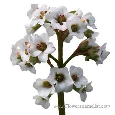 bergenia bressingham white