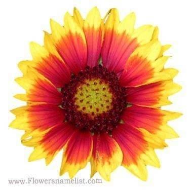 blanket flower florida