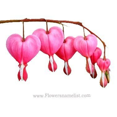 bleeding heart pink