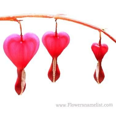 bleeding heart red
