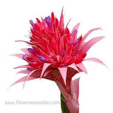 bromeliads australia