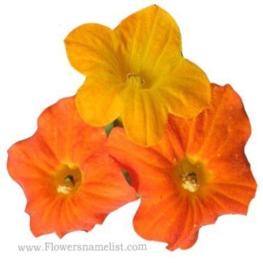 browallia orange
