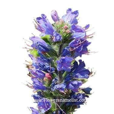 bugloss vipers