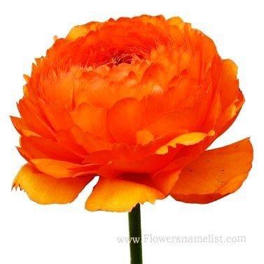 buttercup Ranunculus persion Orange