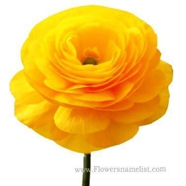buttercup persian yellow