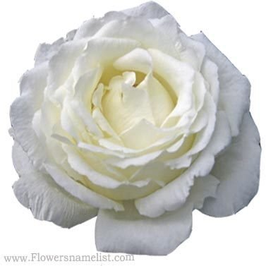 cabbage rose white