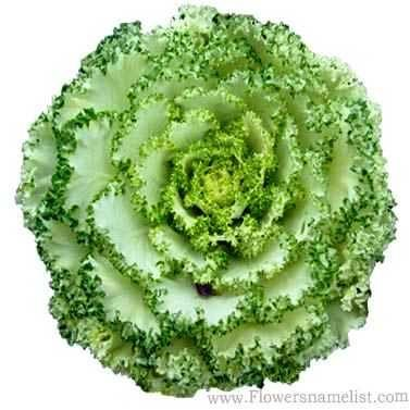 cabbage roses green