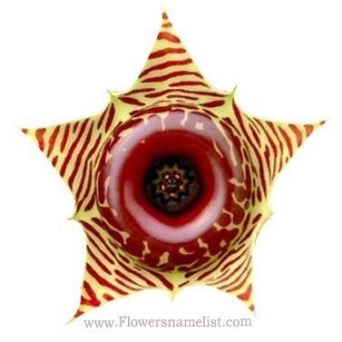 cactus star flower