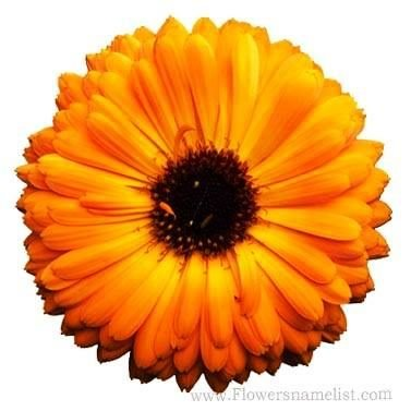 calendula officinalis yellow