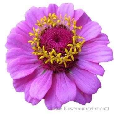 calendula purple