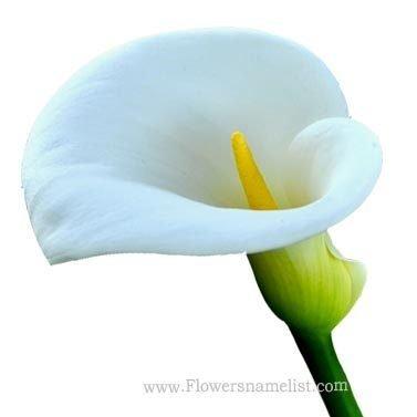 calla lily white
