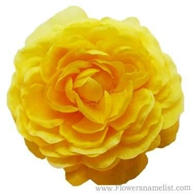 camellia yellow flower