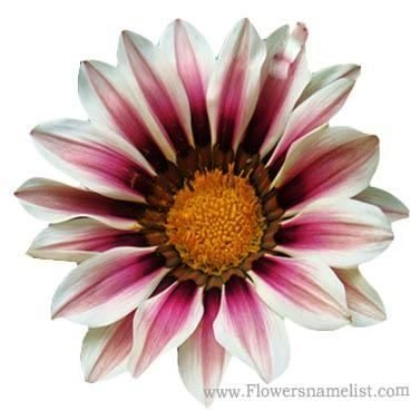 chrysanthemum Red White Gazania