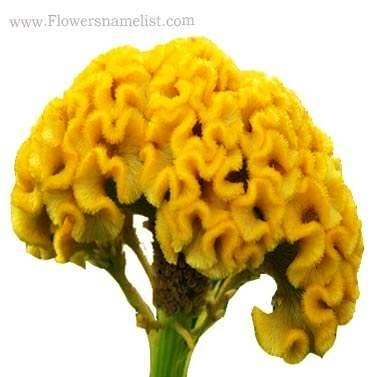 cockscomb yellow