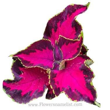 coleus chocolate covered cherry