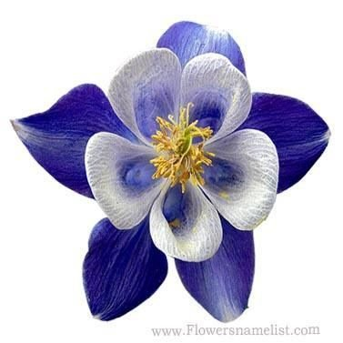 columbine blue flower
