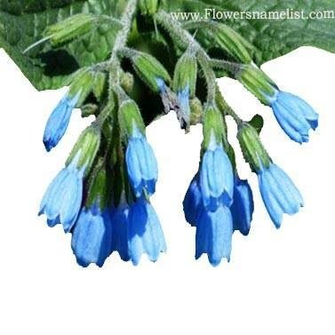 comfrey rough blue