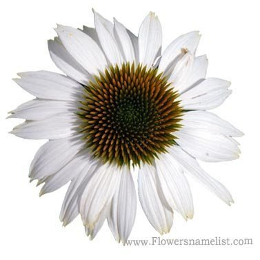 coneflower PowWow White