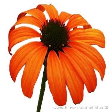 coneflower orange