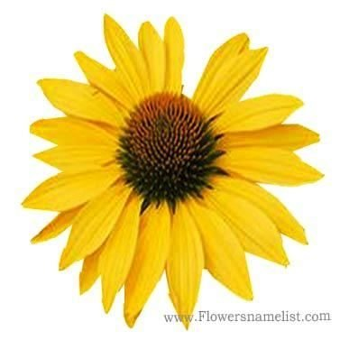 coneflower yellow