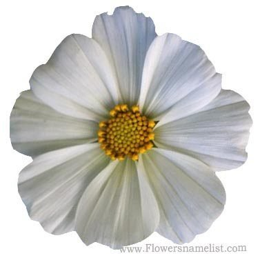 cosmos white flower