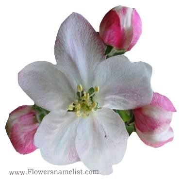 crab apple bach flower