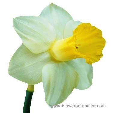 daffodil yellow white