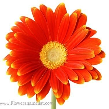 daisy Orange