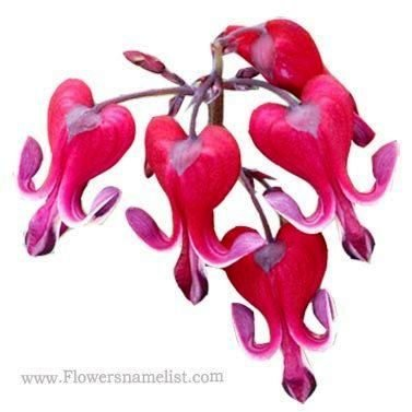 dicentra burning hearts