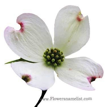 dogwood white flower