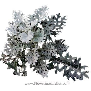 dusty miller centaurea cineraria