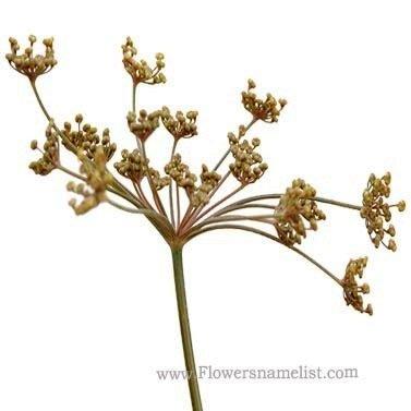 fennel bronze flower
