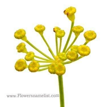 fennel green flower