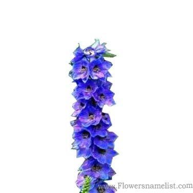 foxglove Blue flower