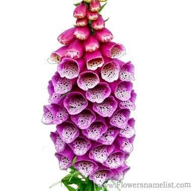 foxglove, lat Digitalis purpurea