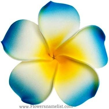 frangipani blue flower