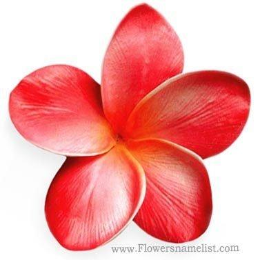 frangipani red flower