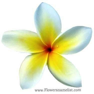frangipani yellow flower