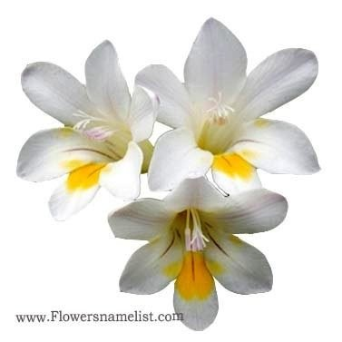 freesia yellow white