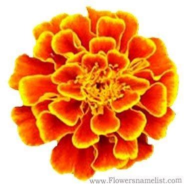 french marigold orange flower